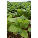 Tobacco - Leaves (Herb)