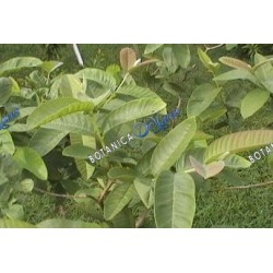 Guava (Herb)